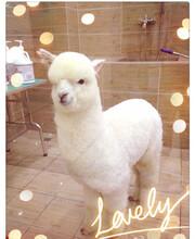 貴州銅仁羊駝一只價格,萌寵羊駝圖片
