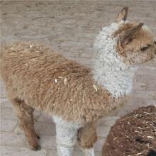 云南楚雄羊駝的價格,萌寵羊駝圖片