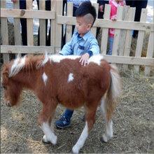 金禾畜牧矮脚马,天津汉沽矮马国产矮马图片