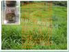 供应福州草籽龙岩草种漳州草坪草籽狗牙根、宽叶雀稗草籽批发