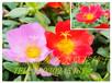 公园庭院常用景观花卉花籽有哪些?广安一二年生花卉花种批发