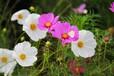 波斯菊可以用在哪些场地?广安三水园林进口花籽销售