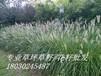 河南省开封哪里有公路绿化草种卖呢