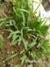 能在矿渣石砾土上生长的草种有哪些?宽叶雀稗草籽的价格