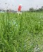 泉州草種綠化草坪種子出售
