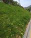 泉州綠化植草噴播草種護坡技術