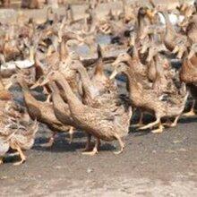 青年鸭哪家好?认?#23478;?#36798;孵化养殖基地