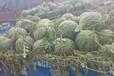 供應陜西京心西瓜,黑皮無籽西瓜
