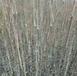许昌朋桥苗圃高50-100cm花椒苗易成活量大从优
