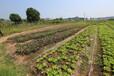 绿悠朴有机蔬菜、有机蔬菜家庭配送