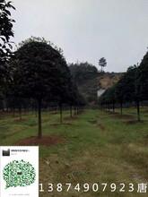 绿化苗木修剪和养护