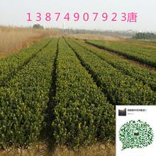 桂花树种植和养护分析