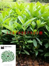 桂花树种子播种方法和采摘
