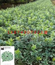 工程绿化苗木红叶石楠的扦插方法