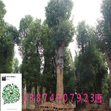 苗木前期修剪和养护