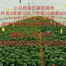 河南省开封市小马红薯苗基地提供优质红薯苗红薯苗价格高淀粉红薯苗图片