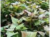 脫毒紅薯苗高產高淀粉紅薯苗供應