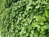 大量供應紅薯苗脫毒紅薯苗基地