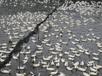 四川宣汉鸭苗养殖;达州附近哪里有鸭苗批发市场;求购麻鸭苗;番鸭苗价格