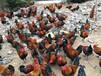 四川大竹香鸡苗批发市场;大竹黑土鸡苗,大竹附近鸡苗厂家;求购鸡苗批发