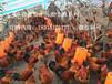 内江附近哪里有土鸡苗,内江鸡苗厂家,内江乌皮土鸡苗,求购内江鸡苗