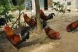丰都地区香鸡市场走俏,香鸡苗多少钱一只;香鸡苗批发