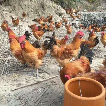 江津吴滩附近哪里有鸡苗,求购乌皮红冠鸡苗,求购本地鸡苗