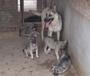 在昭通彝良哪里有卖纯种昆明犬/本地狗场昆明犬什么价格多少钱一只