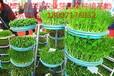 湖北时珍益民农业芽苗菜微工厂成本低利润高