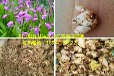 重庆四川贵州白芨种苗种植将获得丰厚的利益!