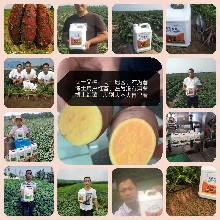 薯博士紅薯葉面肥,薯農人見人愛,提產增品質效果看得見圖片