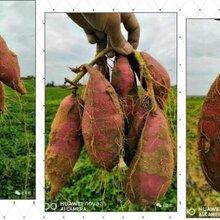 紅薯膨大期葉面肥,紅薯補鉀用葉面肥-億豐年薯博士圖片