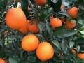 湖北脐橙#秭归脐橙#夏橙批发图片