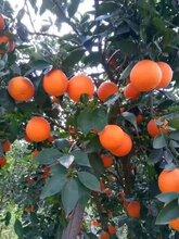 湖北脐橙批发供应夏橙,量大从优!