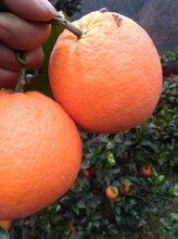 宜昌橙子优价直销