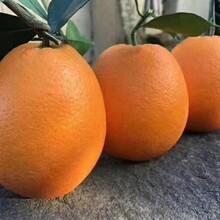 臍橙批發網蜜桔供應產地直銷柑橘圖片