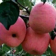 红富士苹果供应批发价格