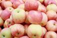 早熟嘎拉美八红露苹果供应基地