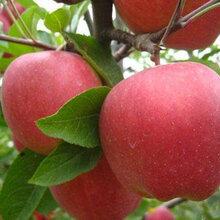 山东红富士苹果基地