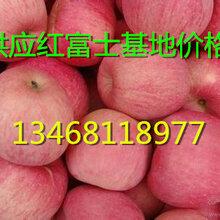 山东苹果产地供应红富士苹果价格