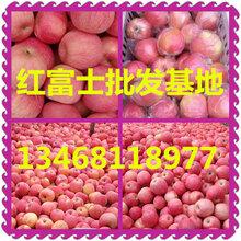 山东红富士苹果产地价格/山东红富士苹果批发价格