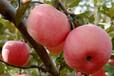 哪里红富士苹果便宜山东红富士苹果产地