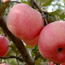 哪里红富士苹果便宜山东红富士苹果产地图片