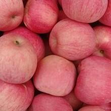 山东红富士苹果产地红富士苹果批发交易价格图片