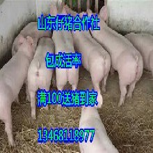 兴隆三元仔猪价格山东仔猪哪里便宜