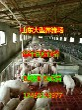 哪里仔猪最便宜山东三元仔猪价格图片