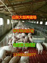哪里仔猪最便宜山东三元仔猪价格