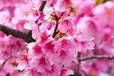 承载中国文化的红樱花必将会发扬光大