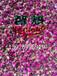 智烘牌玫瑰花烘干房,玫瑰花烘干机ZH-JN-HGJ03适用于各类鲜花干燥