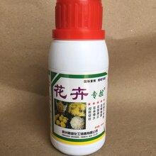 控制旺长效果好菊花杆粗叶绿花朵大卖相好不早衰生产销售花卉专用控旺叶面肥
